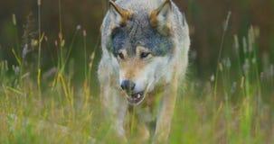 Κινηματογράφηση σε πρώτο πλάνο ενός άγριου αρσενικού λύκου που περπατά στη χλόη στο δάσος