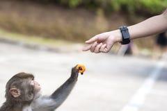 Κινηματογράφηση σε πρώτο πλάνο ενός άγριου πιθήκου που παίρνει πατατάκια από ένα ανθρώπινο χέρι, Hong Στοκ Φωτογραφίες