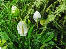 Κινηματογράφηση σε πρώτο πλάνο ενός άσπρου Anthurium λουλουδιού σε ένα θερμοκήπιο Στοκ Φωτογραφία