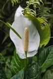 Κινηματογράφηση σε πρώτο πλάνο ενός άσπρου Anthurium λουλουδιού σε ένα θερμοκήπιο Στοκ Εικόνα