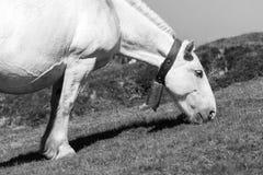 Κινηματογράφηση σε πρώτο πλάνο ενός αλόγου στα Πυρηναία της Ανδόρας που φέρνουν ένα κουδούνι στοκ φωτογραφία με δικαίωμα ελεύθερης χρήσης