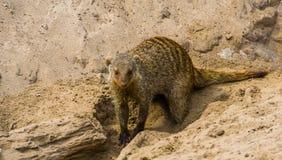 Κινηματογράφηση σε πρώτο πλάνο ενός ενωμένου mongoose σκαψίματος στην άμμο, τροπικό ζωικό specie από τα δημοφιλών και λατρευτών κ στοκ φωτογραφία