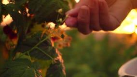 Κινηματογράφηση σε πρώτο πλάνο ενός θηλυκού χεριού που σπάζει απότομα ήπια από τα ώριμα σμέουρα από έναν θάμνο σε ένα υπόβαθρο ηλ φιλμ μικρού μήκους