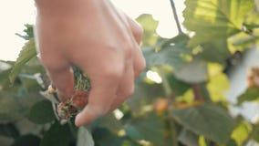 Κινηματογράφηση σε πρώτο πλάνο ενός θηλυκού χεριού που τραβά τα σμέουρα από έναν πράσινο θάμνο Συγκομιδή ενός σμέουρου φιλμ μικρού μήκους