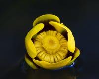 Κινηματογράφηση σε πρώτο πλάνο ενός κίτρινου κρίνου νερού Στοκ Εικόνες