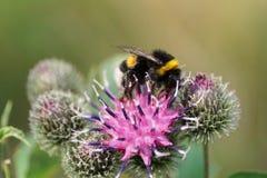 Κινηματογράφηση σε πρώτο πλάνο ενός καυκάσιου Bumblebee lucorum με τα πόδια σε μια πορφύρα Στοκ φωτογραφία με δικαίωμα ελεύθερης χρήσης