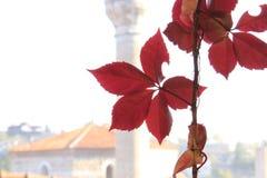 Κινηματογράφηση σε πρώτο πλάνο ενός κλάδου του κόκκινου κισσού με την πλυμένη μακριά σκιαγραφία ενός τουρκικού μουσουλμανικού τεμ στοκ εικόνα