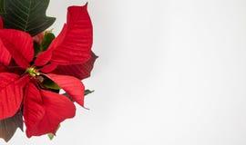Κινηματογράφηση σε πρώτο πλάνο ενός κόκκινου poinsettia στοκ φωτογραφίες με δικαίωμα ελεύθερης χρήσης
