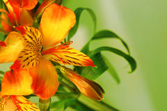 Κινηματογράφηση σε πρώτο πλάνο ενός λουλουδιού κρίνων Στοκ Φωτογραφία