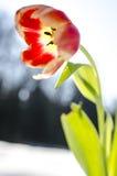 Κινηματογράφηση σε πρώτο πλάνο ενός λουλουδιού τουλιπών Στοκ Εικόνα