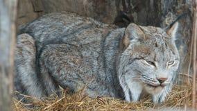 Κινηματογράφηση σε πρώτο πλάνο ενός λυγξ του Καναδά που λαμβάνεται στο ζωολογικό κήπο στοκ φωτογραφίες με δικαίωμα ελεύθερης χρήσης