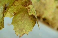 Κινηματογράφηση σε πρώτο πλάνο ενός μαραμένου φύλλου φθινοπώρου που κρεμά σε έναν κλάδο στοκ εικόνα