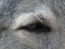 Κινηματογράφηση σε πρώτο πλάνο ενός ματιού ενός σκυλιού λύκων στοκ εικόνα με δικαίωμα ελεύθερης χρήσης
