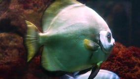 Κινηματογράφηση σε πρώτο πλάνο ενός μεγάλου τροπικού ψαριού discus που κολυμπά στο νερό, όμορφο μεγάλο διακοσμητικό κατοικίδιο ζώ απόθεμα βίντεο