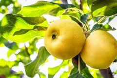 Κινηματογράφηση σε πρώτο πλάνο ενός μικρού κίτρινου μήλου στοκ φωτογραφία με δικαίωμα ελεύθερης χρήσης