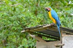 Κινηματογράφηση σε πρώτο πλάνο ενός μπλε-και-κίτρινου Macaw Στοκ Φωτογραφία