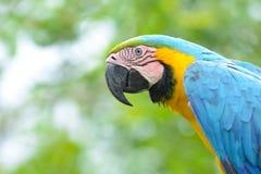 Κινηματογράφηση σε πρώτο πλάνο ενός μπλε-και-κίτρινου Macaw Στοκ Φωτογραφίες