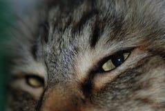 Κινηματογράφηση σε πρώτο πλάνο ενός πορτοκαλιού τιγρέ προσώπου γατών Στοκ Εικόνα