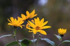 Κινηματογράφηση σε πρώτο πλάνο ενός πορτοκαλιού χρυσού λουλουδιού κήπων Αγκινάρα της Ιερουσαλήμ στοκ εικόνες