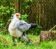 Κινηματογράφηση σε πρώτο πλάνο ενός πουλιού γραμματέων, όμορφο πουλί του θηράματος από την Αφρική, τρωτό ζωικό specie στοκ εικόνες