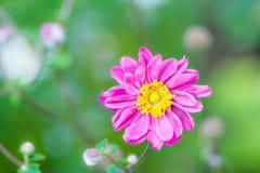Κινηματογράφηση σε πρώτο πλάνο ενός ρόδινου λουλουδιού anemone Στοκ Φωτογραφίες
