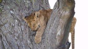 Κινηματογράφηση σε πρώτο πλάνο ενός χαριτωμένου μικρού Cub λιονταριών ύπνου σε έναν κλάδο δέντρων στην άγρια φύση απόθεμα βίντεο