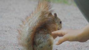 Κινηματογράφηση σε πρώτο πλάνο ενός χαριτωμένου σκιούρου που τρώει ένα καρύδι στο πάρκο Το χέρι του παιδιού ταΐζει το ζώο φιλμ μικρού μήκους