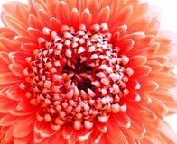 Κινηματογράφηση σε πρώτο πλάνο ενός χρωματισμένου κοράλλι-ροζ λουλουδιού Gerbera Pomponi Bonita Στοκ φωτογραφία με δικαίωμα ελεύθερης χρήσης