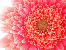 Κινηματογράφηση σε πρώτο πλάνο ενός χρωματισμένου κοράλλι-ροζ Gerbera Pomponi Bonita Στοκ φωτογραφία με δικαίωμα ελεύθερης χρήσης