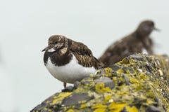 Κινηματογράφηση σε πρώτο πλάνο ενός Arenaria turnstone Rubby interpres wading πουλιού για το α Στοκ εικόνα με δικαίωμα ελεύθερης χρήσης