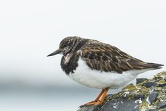 Κινηματογράφηση σε πρώτο πλάνο ενός Arenaria turnstone Rubby interpres wading πουλιού για το α Στοκ φωτογραφία με δικαίωμα ελεύθερης χρήσης