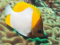 Κινηματογράφηση σε πρώτο πλάνο ενός butterflyfish Στοκ Εικόνες