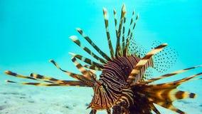 Κινηματογράφηση σε πρώτο πλάνο ενός Spotfin Lionfish Pterois Antennata, Μαλδίβες στοκ εικόνες