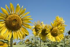 Κινηματογράφηση σε πρώτο πλάνο ηλίανθων στο τοπίο τομέων λουλουδιών στοκ φωτογραφία με δικαίωμα ελεύθερης χρήσης