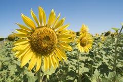 Κινηματογράφηση σε πρώτο πλάνο ηλίανθων στο τοπίο τομέων λουλουδιών στοκ φωτογραφίες