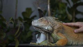 Κινηματογράφηση σε πρώτο πλάνο Η σαύρα του iguana με τα μεγάλα νύχια κάθεται στο δωμάτιο Το κορίτσι κτυπά το ερπετό κατοικίδιων ζ απόθεμα βίντεο