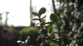 Κινηματογράφηση σε πρώτο πλάνο κάποιου εξωτικού φυτού με τα μικρά και σαρκώδη φύλλα που ψεκάζονται από το νερό σε έναν βοτανικό κ απόθεμα βίντεο