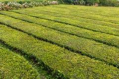 Κινηματογράφηση σε πρώτο πλάνο κρεβατιών φυτειών τσαγιού στοκ φωτογραφίες