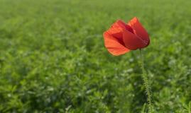 Κινηματογράφηση σε πρώτο πλάνο λουλουδιών παπαρουνών την ηλιόλουστη ημέρα Στοκ Φωτογραφία