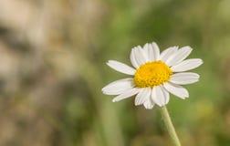 Κινηματογράφηση σε πρώτο πλάνο λουλουδιών της Daisy στο πράσινο υπόβαθρο Στοκ Εικόνα