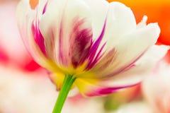 Κινηματογράφηση σε πρώτο πλάνο λουλουδιών τουλιπών Στοκ εικόνες με δικαίωμα ελεύθερης χρήσης