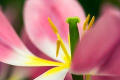 Κινηματογράφηση σε πρώτο πλάνο λουλουδιών τουλιπών Στοκ Εικόνες