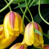 Κινηματογράφηση σε πρώτο πλάνο λουλουδιών τουλιπών Στοκ φωτογραφίες με δικαίωμα ελεύθερης χρήσης