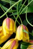 Κινηματογράφηση σε πρώτο πλάνο λουλουδιών τουλιπών Στοκ εικόνα με δικαίωμα ελεύθερης χρήσης