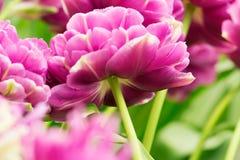 Κινηματογράφηση σε πρώτο πλάνο λουλουδιών τουλιπών Στοκ φωτογραφία με δικαίωμα ελεύθερης χρήσης