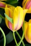 Κινηματογράφηση σε πρώτο πλάνο λουλουδιών τουλιπών Στοκ Φωτογραφία
