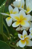 Κινηματογράφηση σε πρώτο πλάνο λουλουδιών Frangipani Εξωτικά plumeria spa λουλούδια στο πράσινο τροπικό υπόβαθρο φύλλων Όμορφα Sc Στοκ εικόνες με δικαίωμα ελεύθερης χρήσης