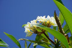 Κινηματογράφηση σε πρώτο πλάνο λουλουδιών Frangipani Εξωτικά plumeria spa λουλούδια στο πράσινο τροπικό υπόβαθρο φύλλων Όμορφα Sc Στοκ Φωτογραφία
