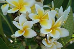 Κινηματογράφηση σε πρώτο πλάνο λουλουδιών Frangipani Εξωτικά plumeria spa λουλούδια στο πράσινο τροπικό υπόβαθρο φύλλων Όμορφα Sc Στοκ φωτογραφία με δικαίωμα ελεύθερης χρήσης