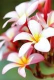 Κινηματογράφηση σε πρώτο πλάνο λουλουδιών Frangipani Στοκ Φωτογραφίες